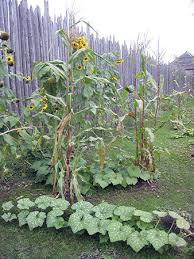The three sisters planting method, with sunflowers