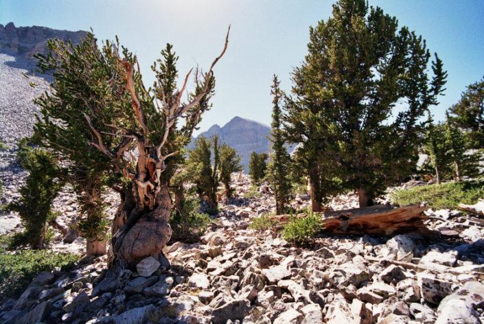 A grove of bristlecone pines near Wheeler Peak, NV. Public domain image by J.R. Bouldin.